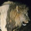 51_lion.jpg